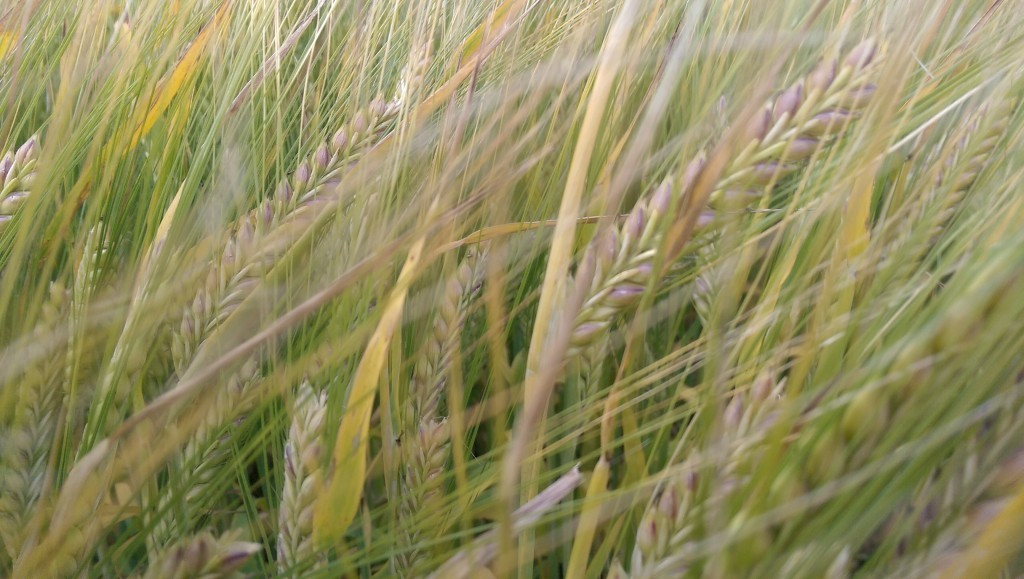 Barley in the Pewsey Vale Wiltshire