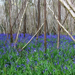 A bluebell wood in Dorset