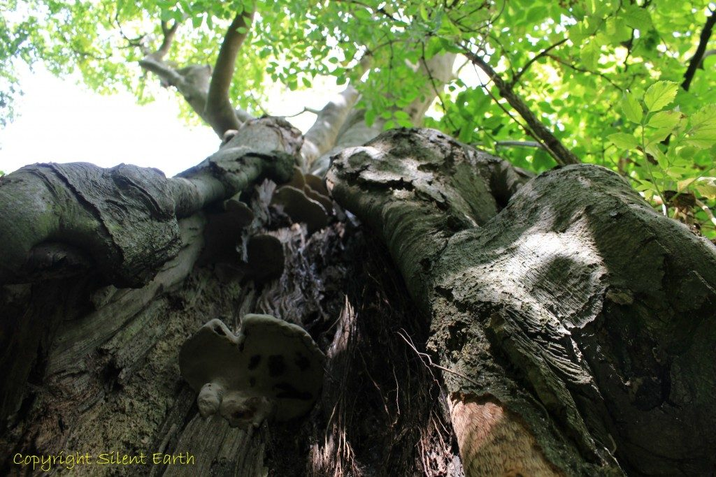 A beech tree at Wayland's Smithy.