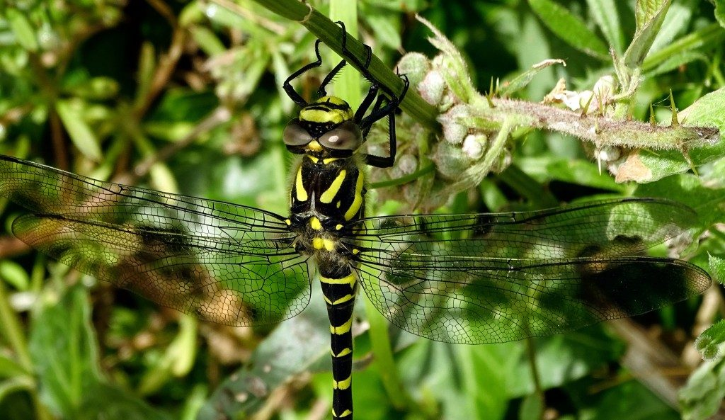 St Lukes Chapel Abbotsbury Dorset and a Golden Ringed Dragonfly